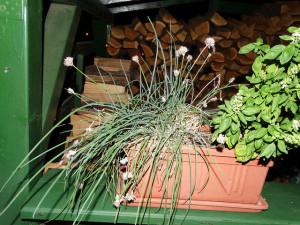 Fűszernövények termesztése