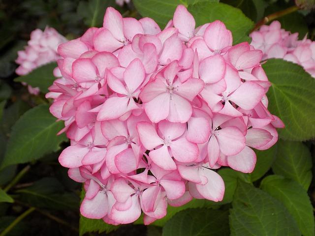 A kerti hortenziával tarkított udvar csodálnivalóvá válik 345cdc5458